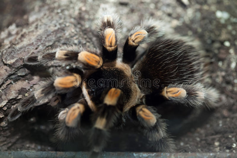 Mexikanischer Redknee Tarantula (Brachypelma smithi) lizenzfreie stockfotografie