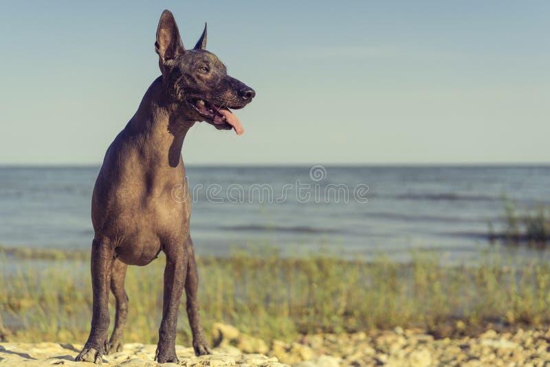 Mexikanischer unbehaarter Hund Xoloitzcuintle, Xolo steht auf einem sandigen Strand gegen den blauen Himmel in voller Länge, der  lizenzfreies stockbild