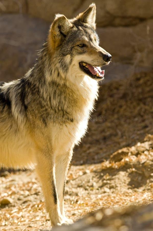 Mexikanischer Wolf stockbild