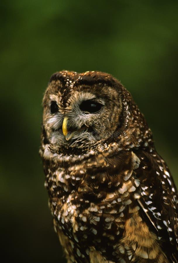 mexikansk prickig owlstående fotografering för bildbyråer