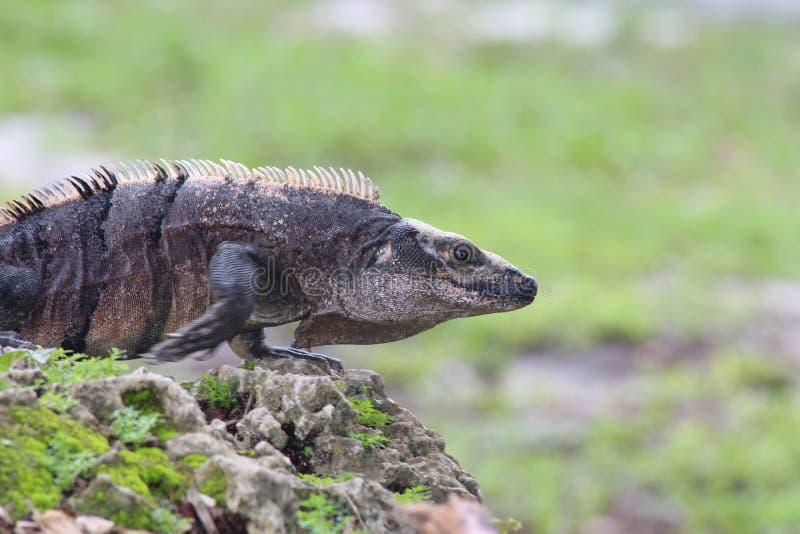 mexikanskt tailed spiny för leguan royaltyfria foton