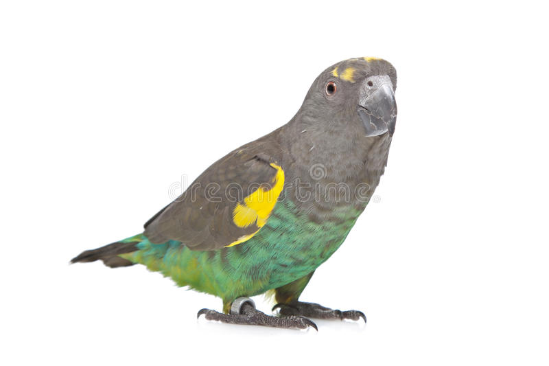 Download Meyer Parrot stock image. Image of avian, poicephalus - 24481503