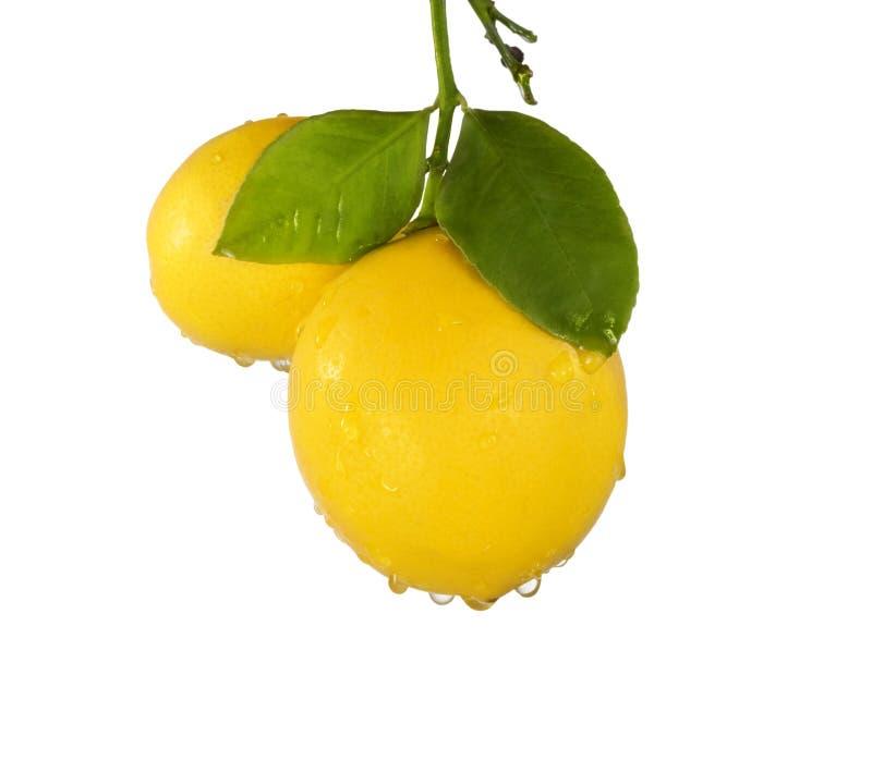 Meyer-Zitronen    stockbilder