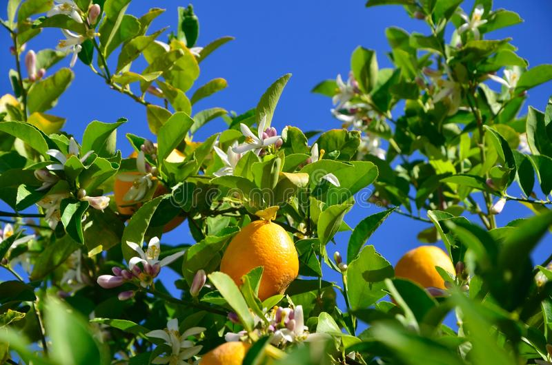 Lemons on the tree royalty free stock photography