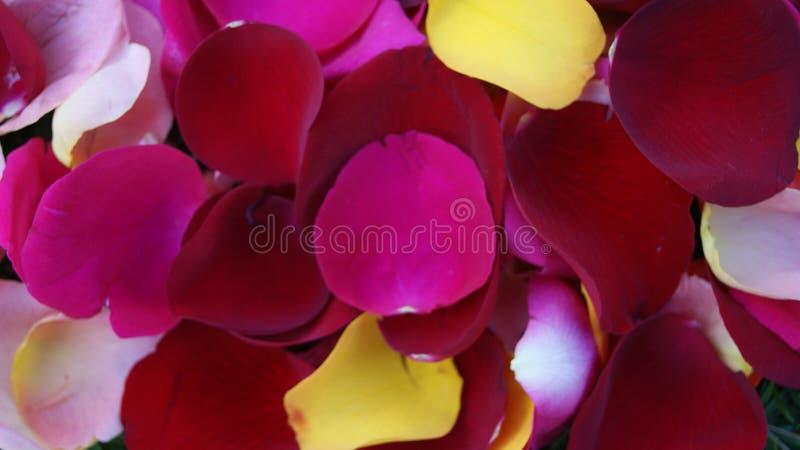 Mezcla colorida de los pétalos del ` s de la rosa foto de archivo libre de regalías