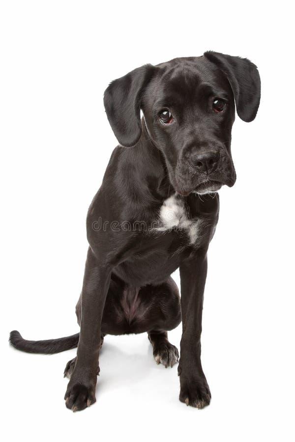 Mezcla de Labrador/del boxeador foto de archivo