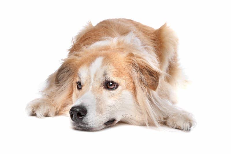Mezcla del collie/del perro perdiguero de frontera imagen de archivo libre de regalías