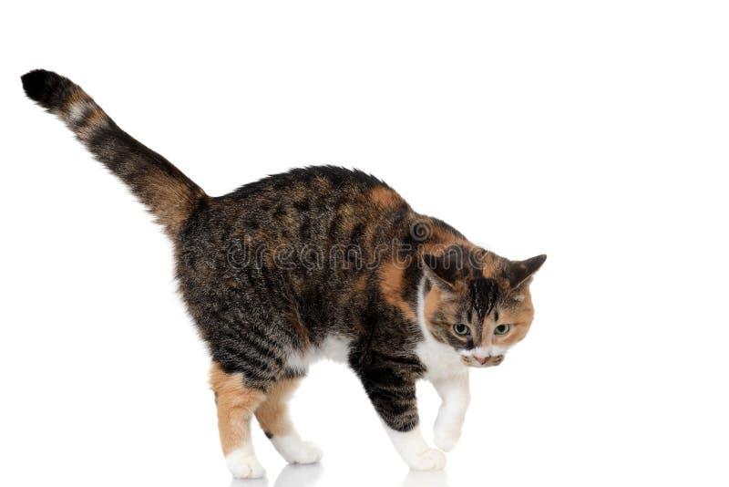 Mezcla del gato del calicó y de gato atigrado fotografía de archivo