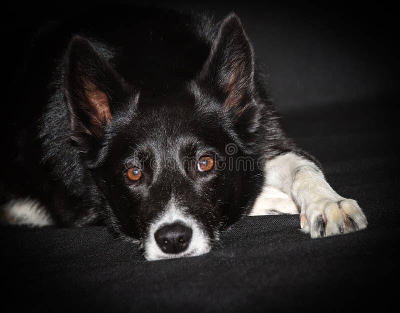Mezcla fornida del perro pastor escocés del border collie imágenes de archivo libres de regalías