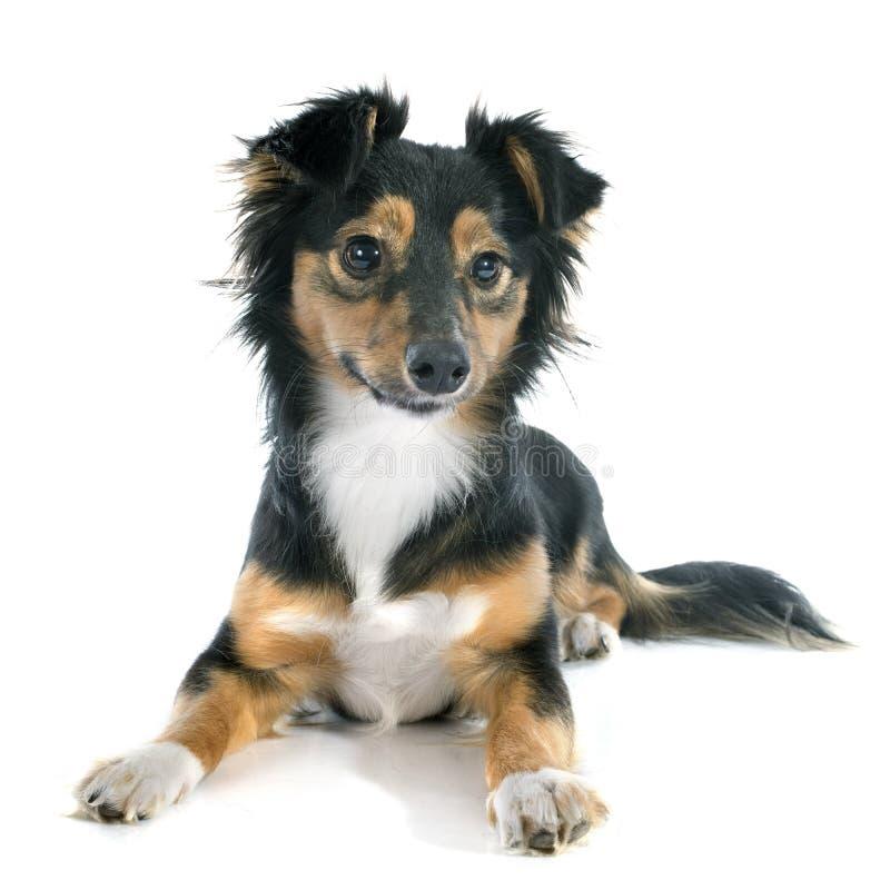 Mezclado-Críe el perro foto de archivo libre de regalías