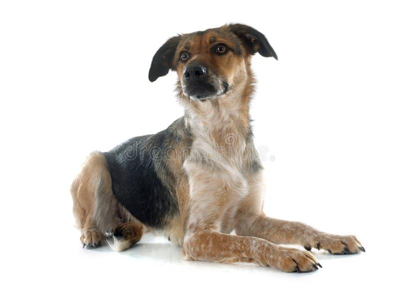 Mezclado-Críe el perro fotos de archivo libres de regalías