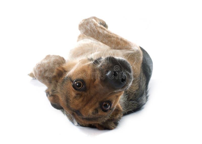 Mezclado-Críe el perro fotografía de archivo