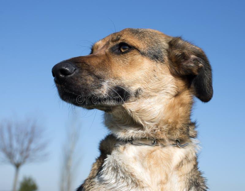 Mezclado-Críe el perro fotos de archivo