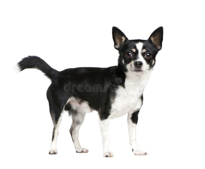 Mezclado-Críe el perro con una chihuahua foto de archivo