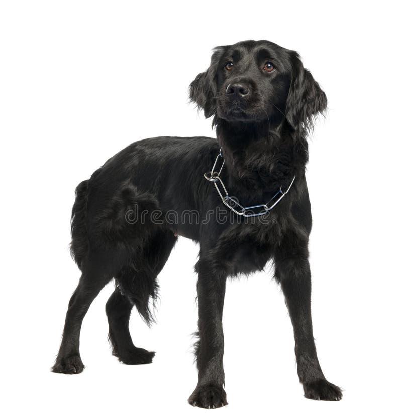 Mezclado-Críe el perro entre Terranova y el desconocido imagen de archivo libre de regalías