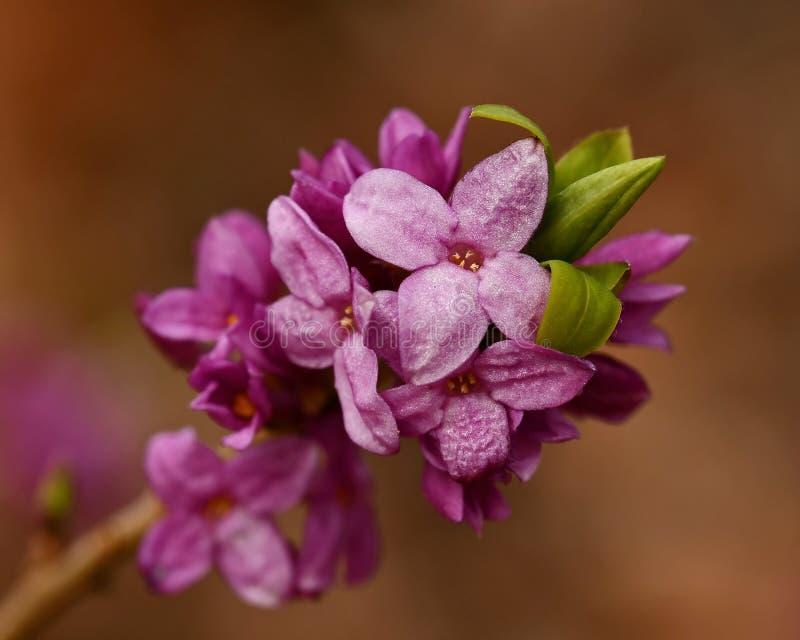 Mezereum di Daphne - bello, piccolo, la molla fiorisce fotografie stock libere da diritti