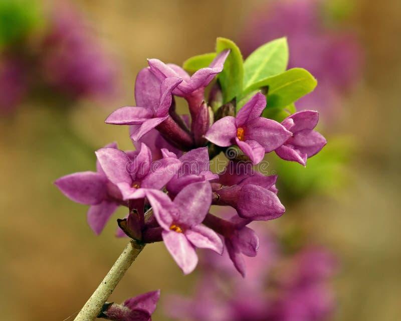 Mezereum di Daphne - bello, piccolo, la molla fiorisce fotografia stock libera da diritti