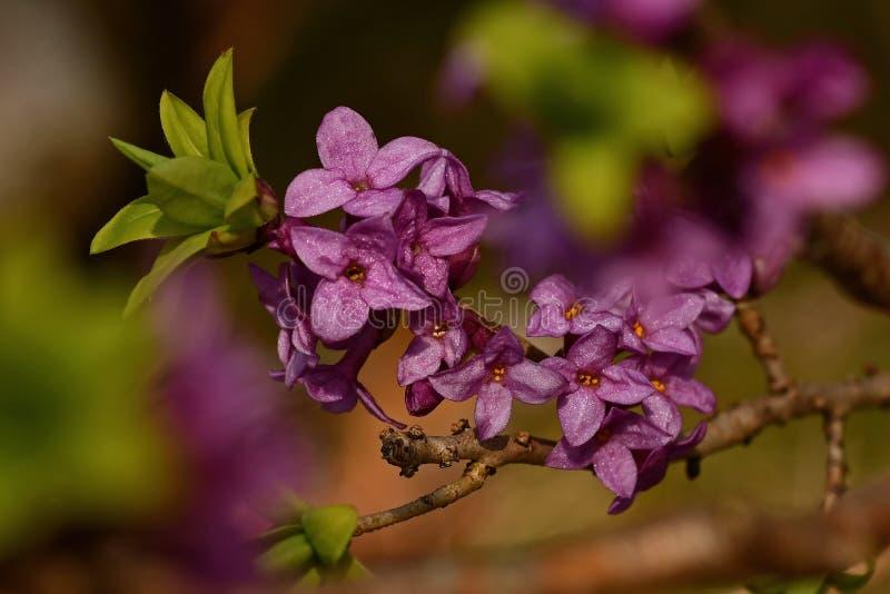 Mezereum di Daphne - bello, piccolo, la molla fiorisce immagine stock