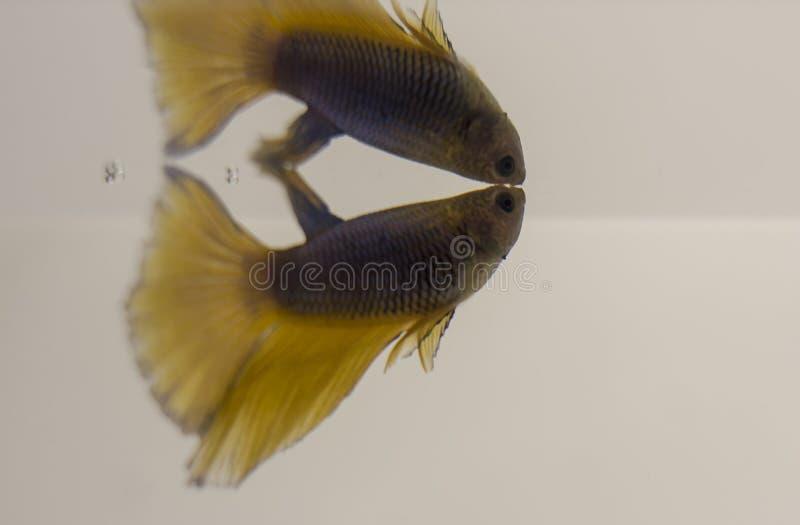 Mezzaluna gialla blu Betta Splendens del pesce siamese di combattimento con la riflessione fotografie stock
