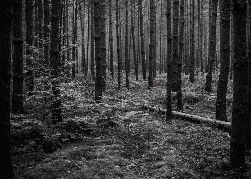 In mezzo alla foresta, sfondo naturale, in bianco e nero fotografia stock libera da diritti