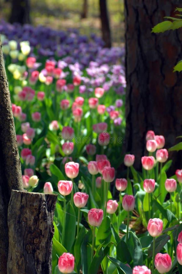 In mezzo di una traccia del tulipano fotografia stock libera da diritti