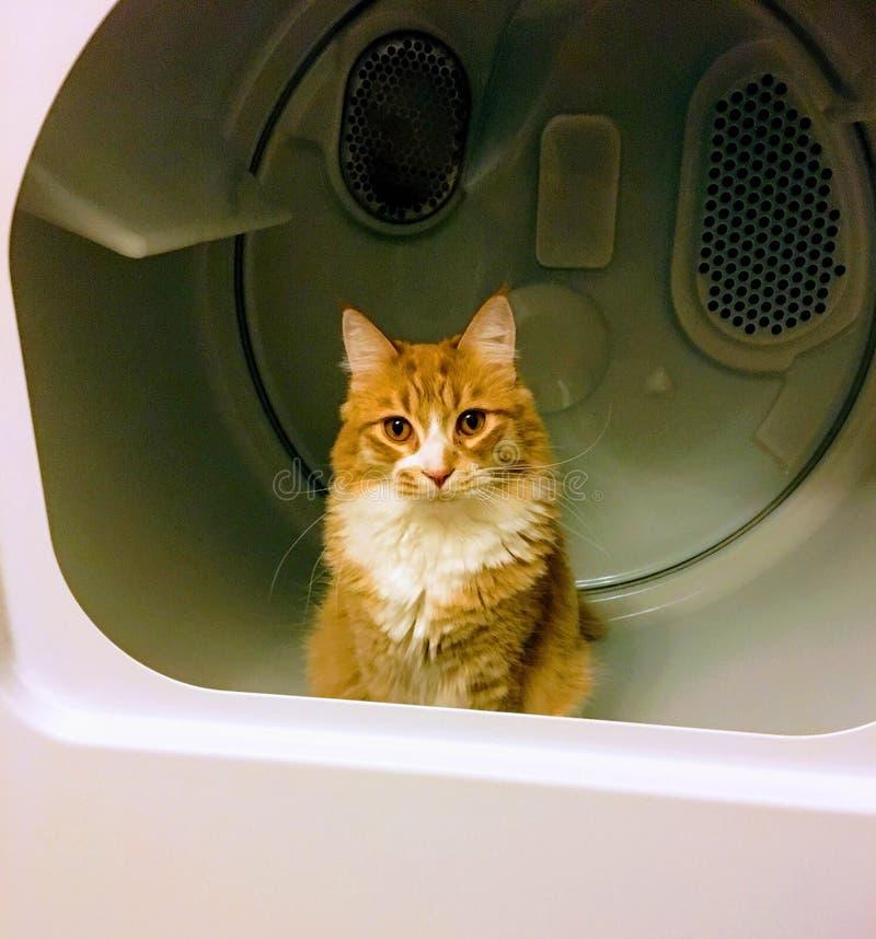 Mezzo gatto del ragdoll mezzo del procione lavatore arancio e bianco della Maine dentro un essiccatore immagini stock libere da diritti