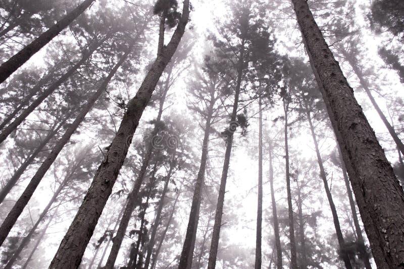 Mgła w sosnowym lesie obraz stock