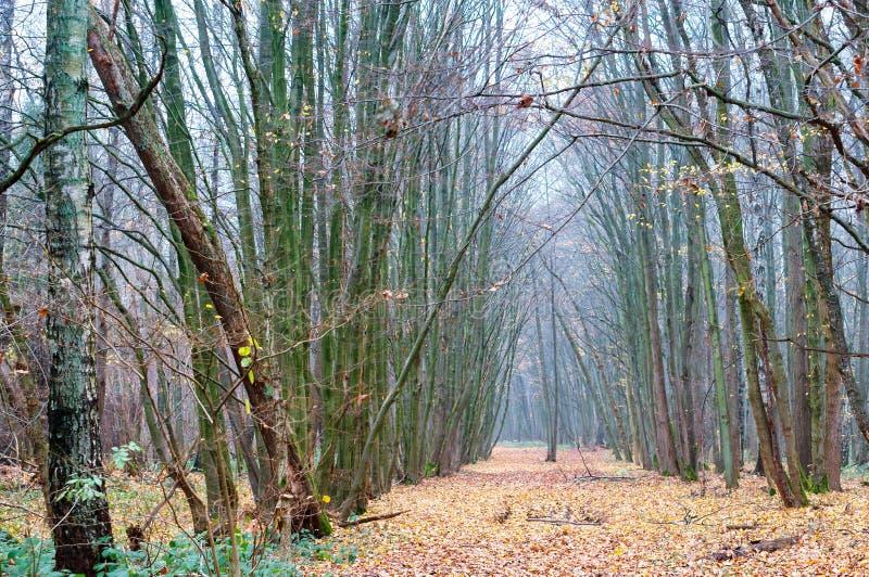 Mgła w wiosna lesie, chmurny las w jesieni fotografia stock
