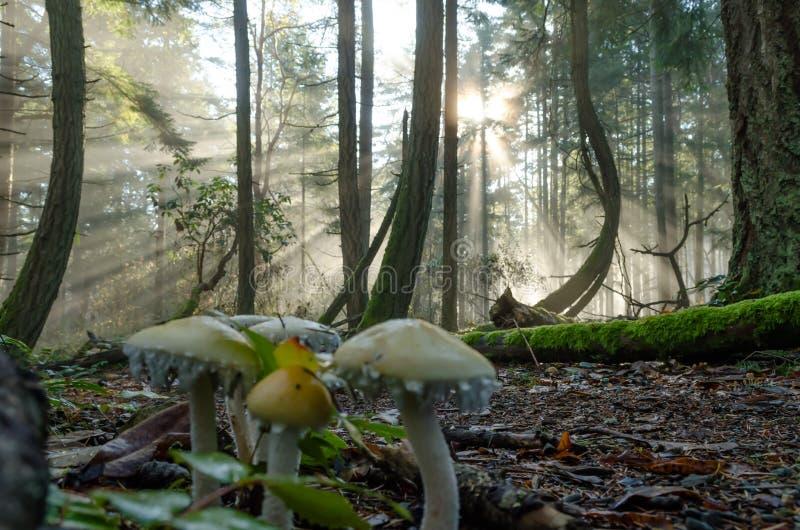 Mgłowa lasowa musroom rodzina zdjęcia stock