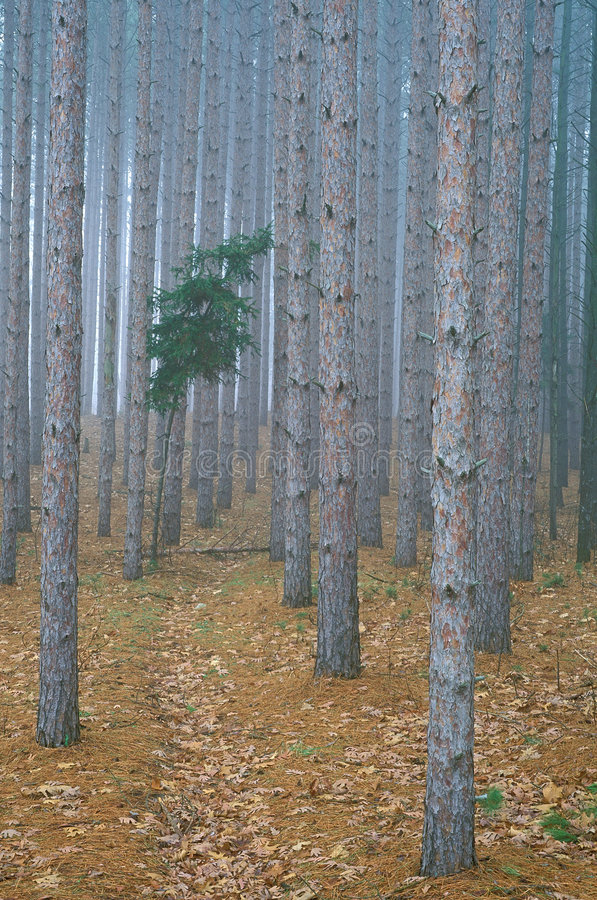 mgłowa sosna leśna fotografia royalty free