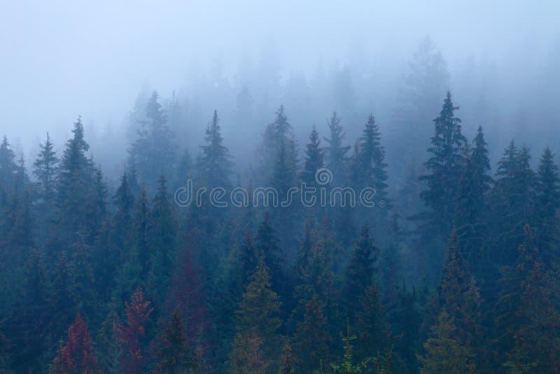 Mgłowe sosny na halnym skłonie obrazy stock