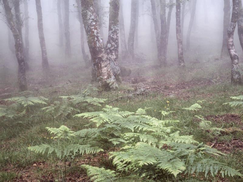 Mgłowi drewna z fernes zdjęcie royalty free