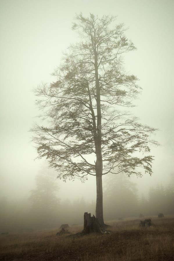 Mgłowy drzewo obrazy royalty free