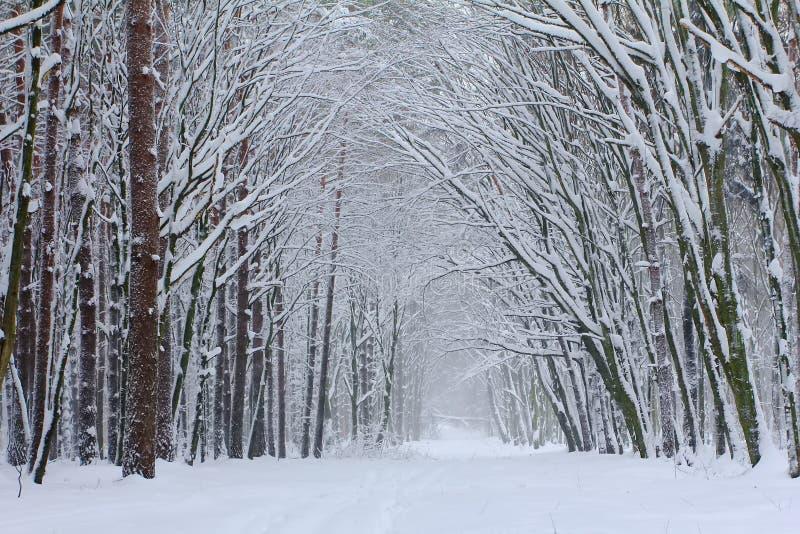 Mgłowy ranek w zimy drewnie zdjęcia royalty free
