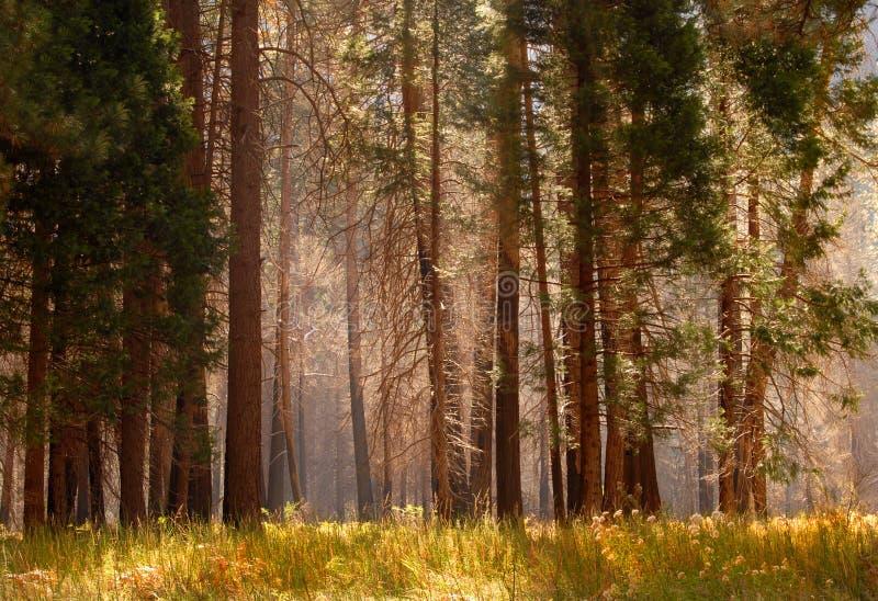 mgły leśną markotni drzewa obrazy stock