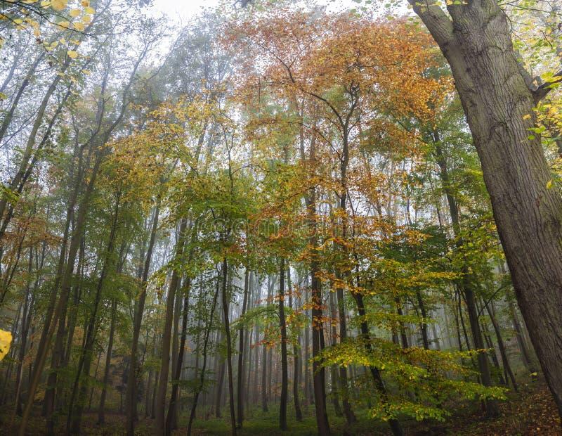 Mgliści Lasowi lasów drzewa w jesieni lub spadku fotografia stock
