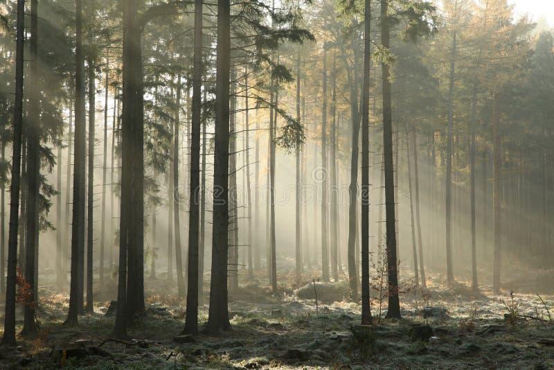 Mglistej jesieni iglasty las przy świtem zdjęcie royalty free