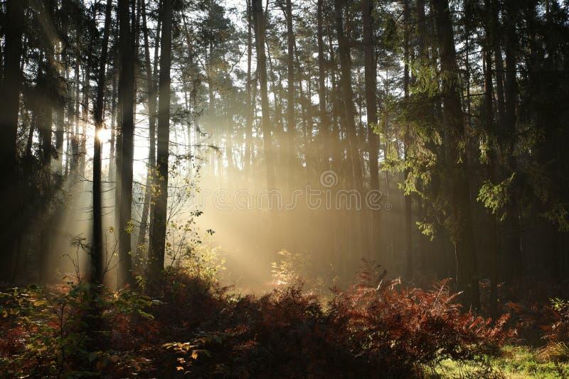 Mglistej jesieni iglasty las przy świtem fotografia royalty free