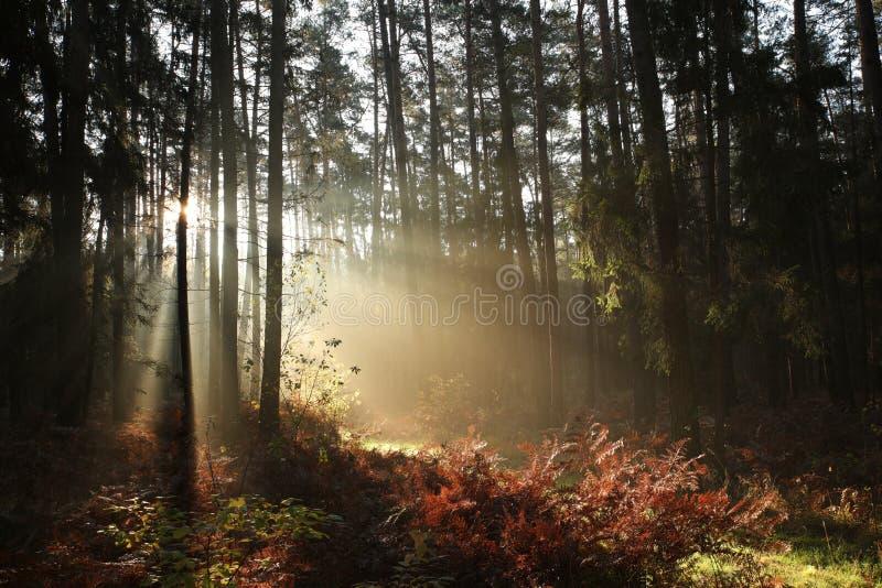 Mglistej jesieni iglasty las przy świtem obrazy royalty free