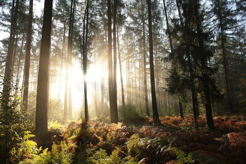 Mglistej jesieni iglasty las przy świtem obraz royalty free