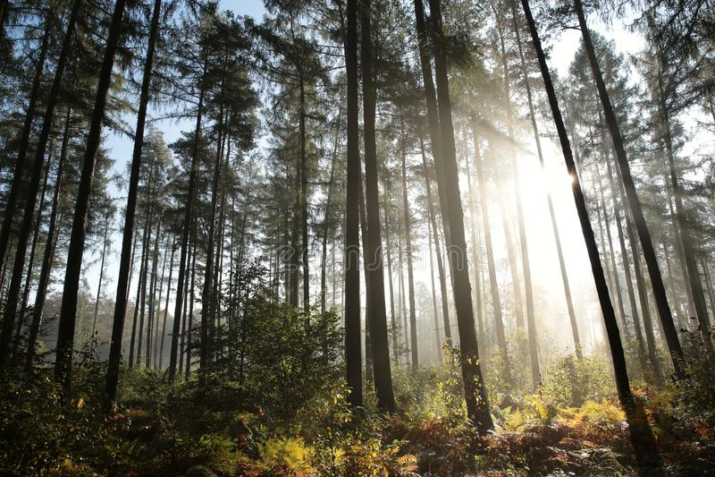 Mglistej jesieni iglasty las przy świtem obrazy stock