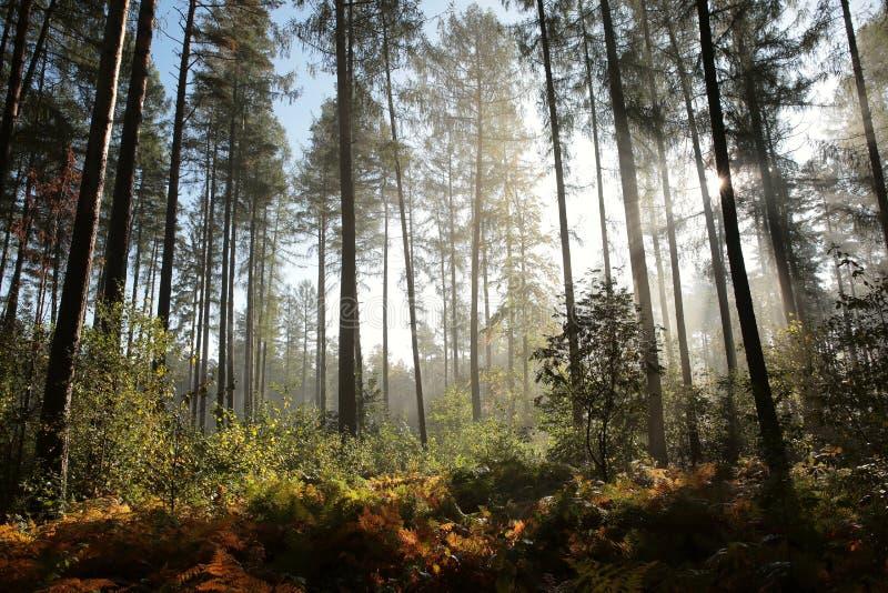 Mglistej jesieni iglasty las przy świtem obraz stock