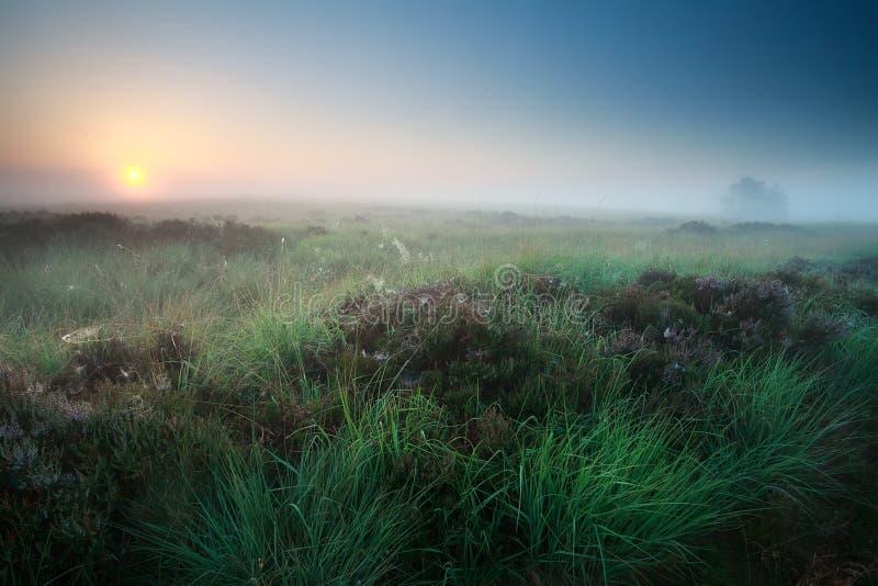Mglisty lato wschód słońca nad bagnem z wrzosem obraz stock