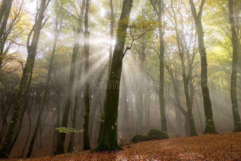 Mglisty ranek w mgłowym drewnie obraz royalty free