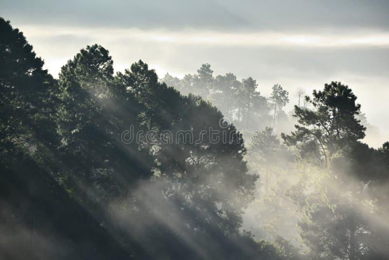 Mglisty sosnowy las na górze zdjęcie royalty free