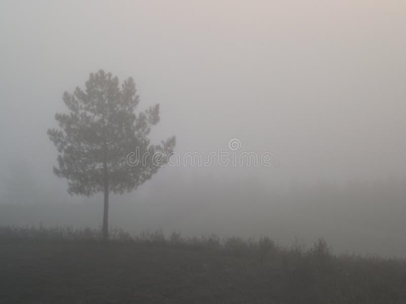 Mglisty widok sosna zdjęcie royalty free