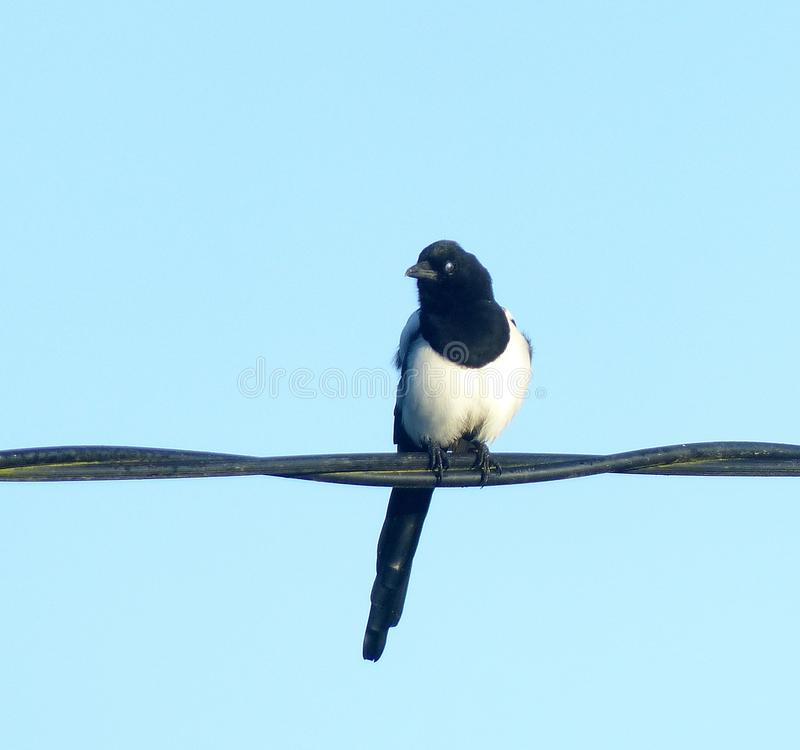 Magpie on electric cables. A mgood-looking magpie showing magnificent black and white plumage, perched on heavy electric cables royalty free stock photos
