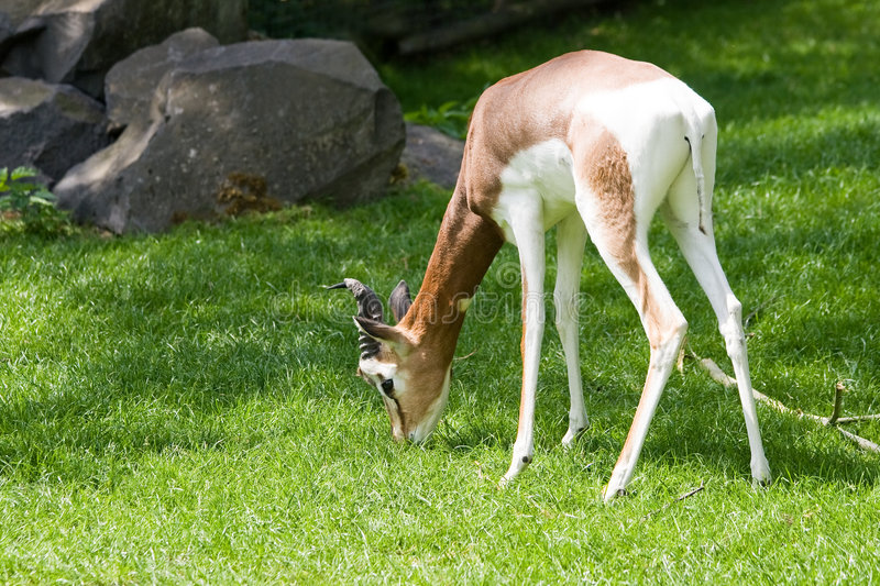 Mhorr gazella eating grass. In the sun stock image