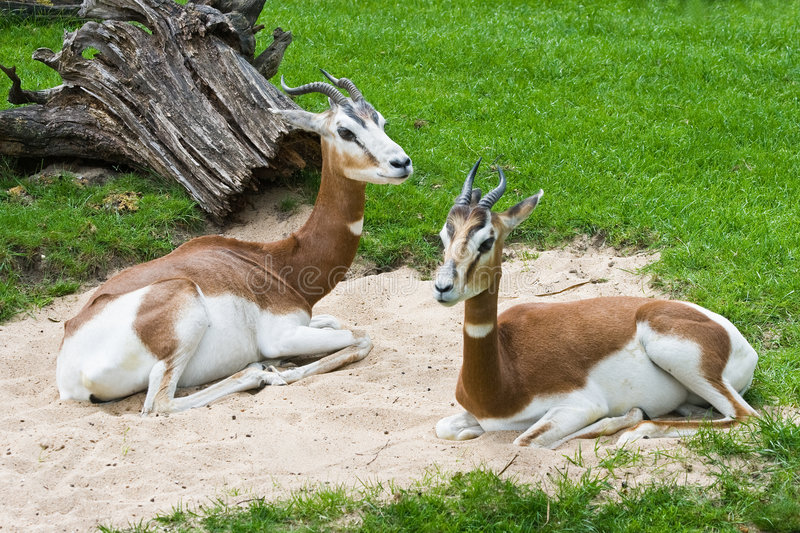 Mhorr Gazelle. Africa, extinct in the wild stock photo