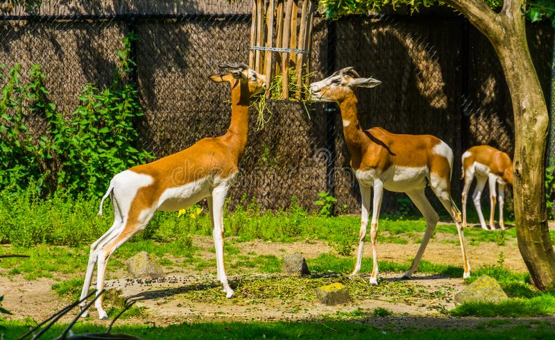 Mhorr gazelle couple eating hay together, zoo animal feeding, critically endangered animal specie from the desert of africa stock images